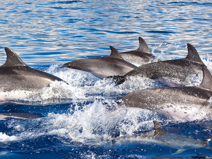 Group-of-Dolphins
