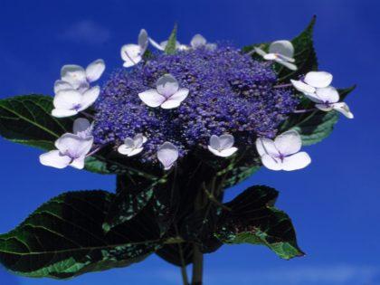 Hydrangea. Azores
