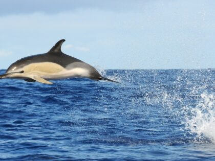 Leaping dolphin (Azores)