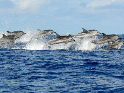 Pod of striped dolphins (Azores)